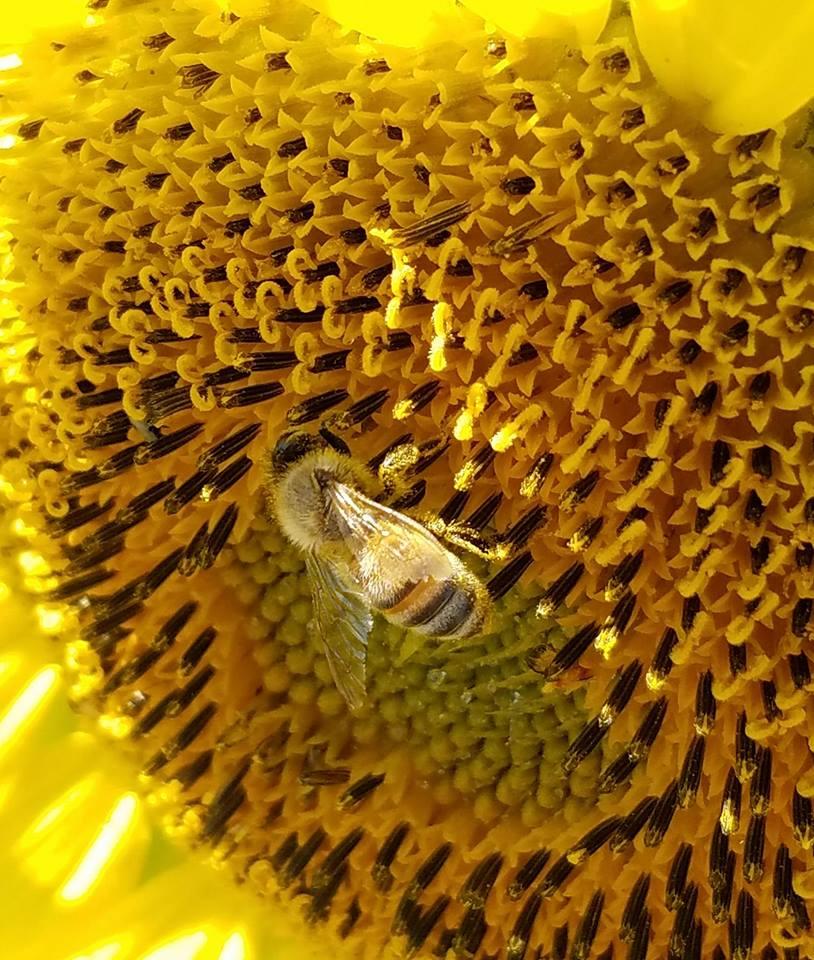 Bee On Sunflower by djoneill