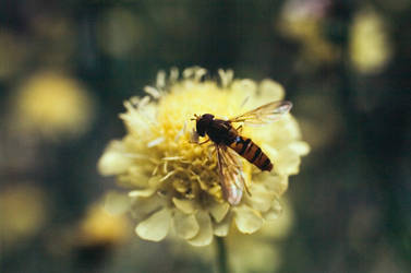 Hover Fly III