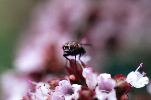 Fly on Thyme
