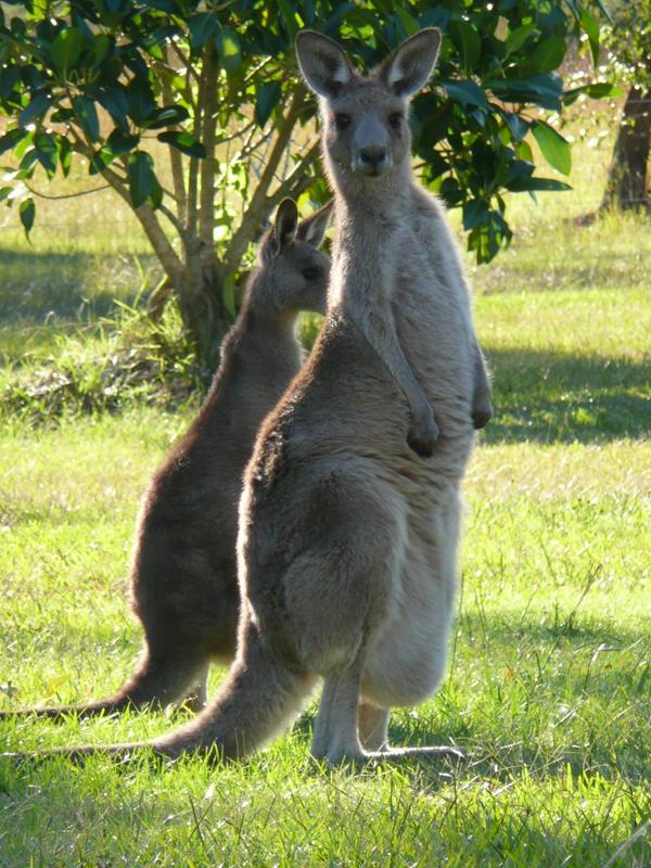 Kangaroo STOCK by devious-kitten-stock
