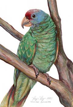 Papagaio-cara-roxa
