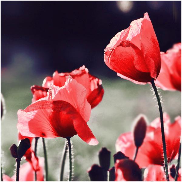 Poppy – hoa anh túc