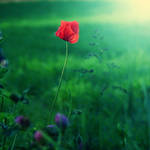 Sweet Poppy