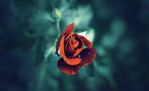 Blooming rose by CasheeFoo