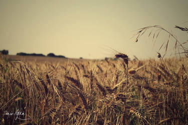 wheat by arevolutionary