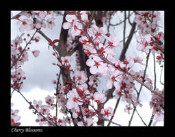 Cherry Blossoms by QTips408