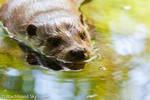 Otter nose by Wachhund
