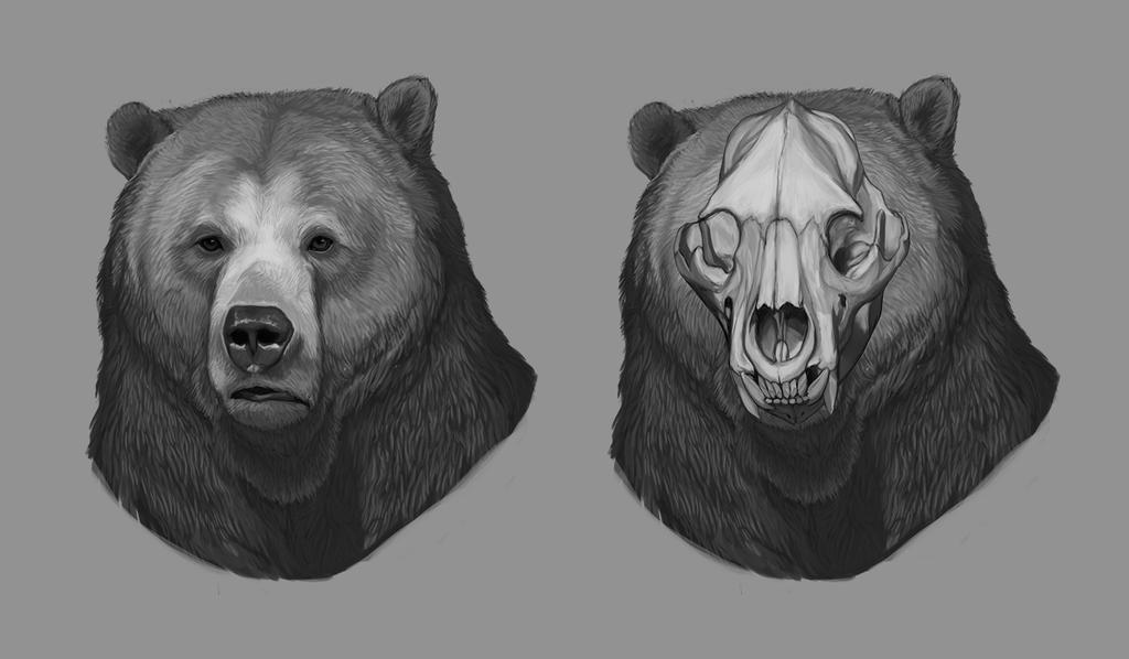Head anatomy of the bear by amanana on DeviantArt