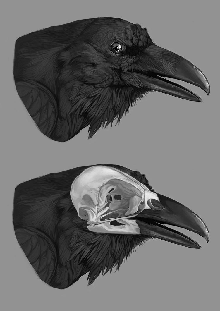 Raven\'s skull anatomy study by amanana on DeviantArt