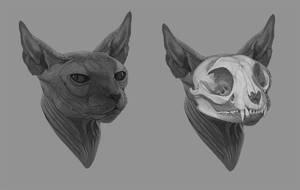Anatomic Study - Sphynx cat's Skull by amanana
