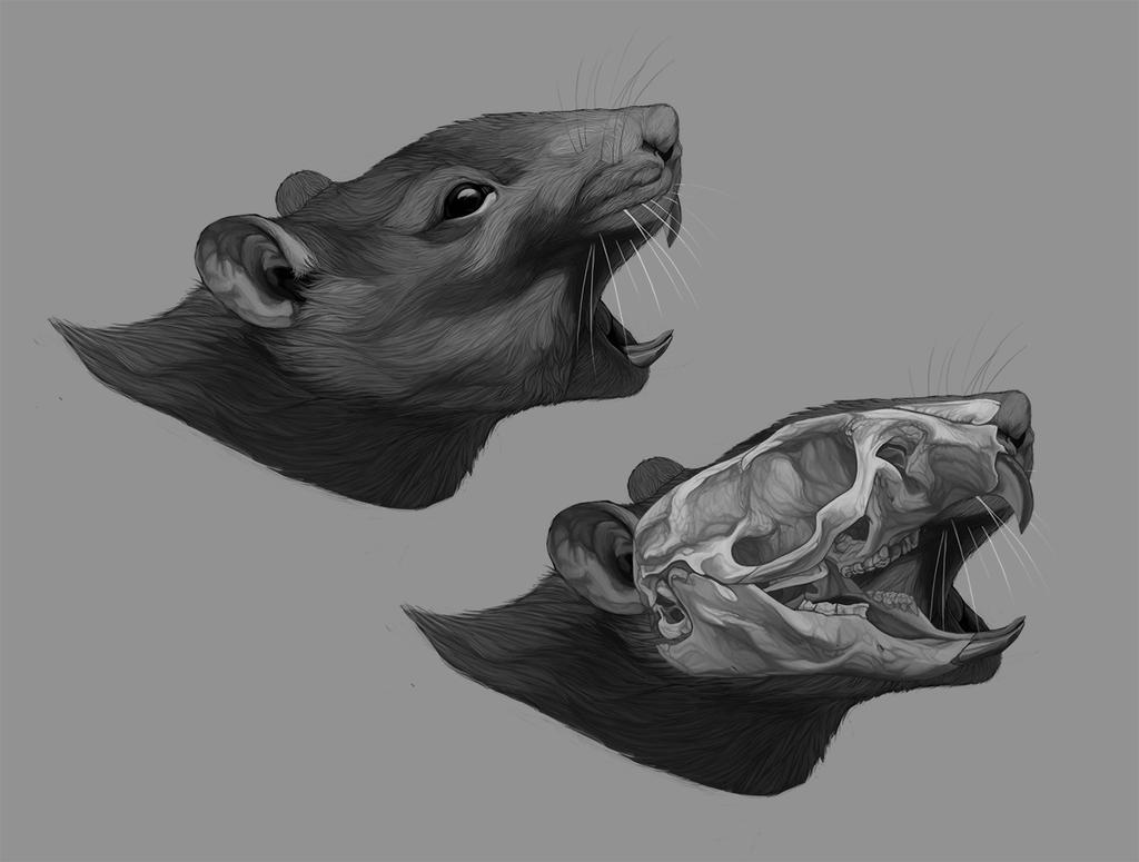 Anatomic Study: Rat\'s Skull by amanana on DeviantArt