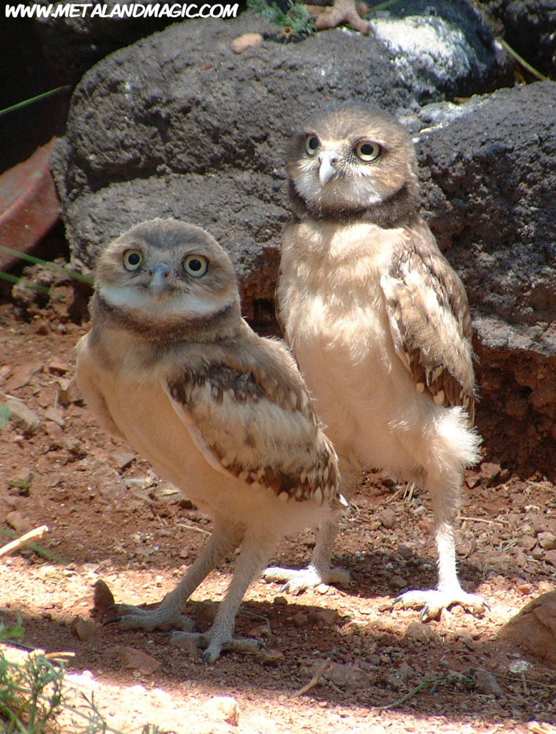 Burrowing Owls by ursulav on DeviantArt