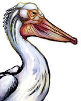 Pelican sketch by ursulav