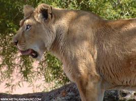 Lioness by ursulav