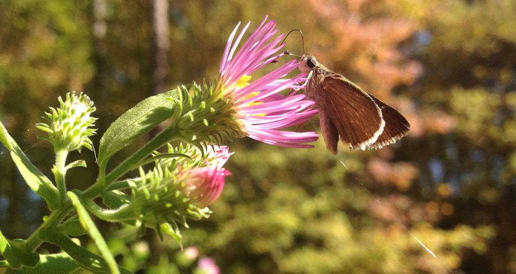 Skipper on Climbing Aster by ursulav