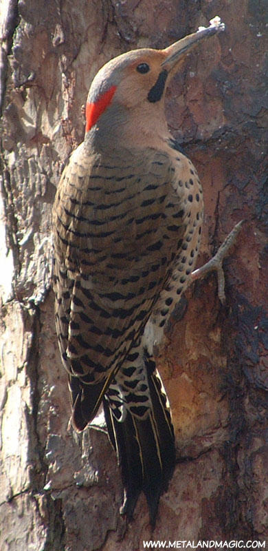 Northern Flicker by ursulav
