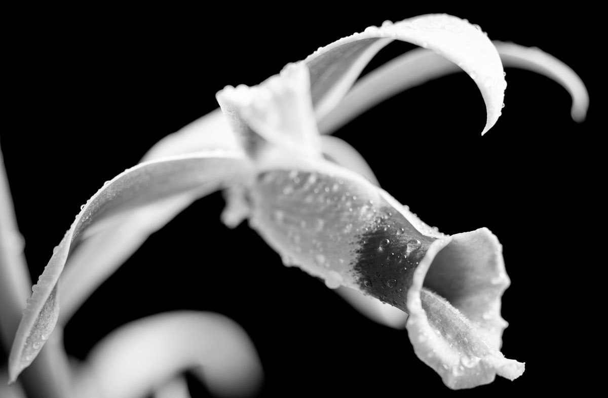 Nun Orchid in Black and White by JustMyluck3229 on DeviantArt