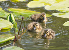 Ducklings (2) by starykocur