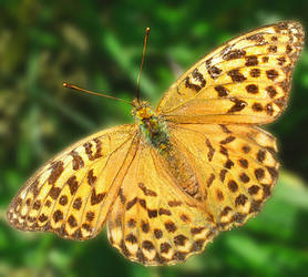 Fritillary by starykocur