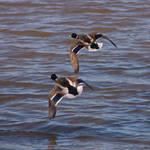 Mallard males in flight
