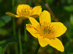Marsh marigolds (Caltha palustris)