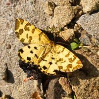 Pseudopanthera macularia by starykocur