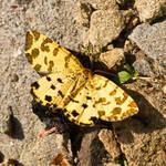 Pseudopanthera macularia