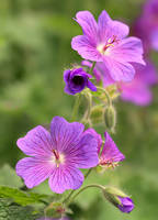 Geranium II by starykocur