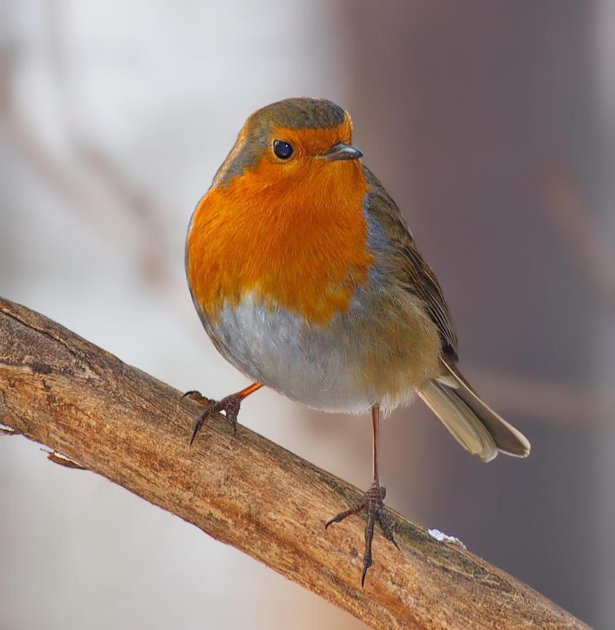 European robin (Erithacus rubecula) I by starykocur