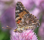 Painted lady (Vanessa cardui) II