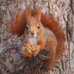 Squirrel with a walnut