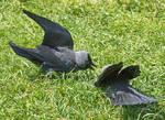 Two jackdaws by starykocur