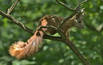 Squirrel's tail