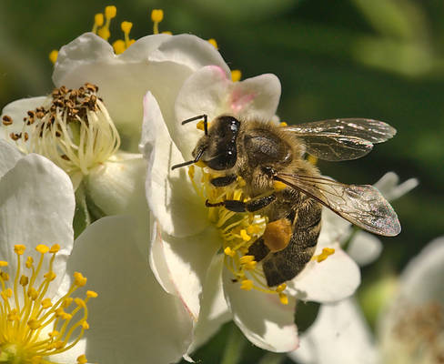 Bees and flowers XXXVI