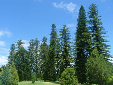 Row of Pines
