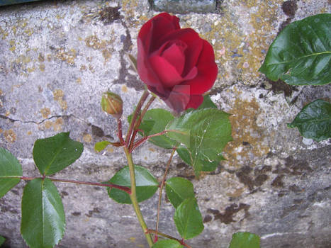 old wall + rose or vice versa