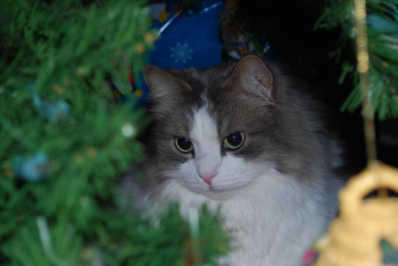 Christmas Cat: Nickolas the Siberian by Tychoaussie