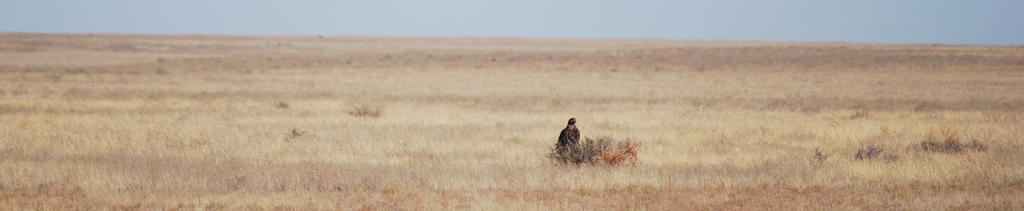 King of the bush: The Golden Eagle of west Kazakh