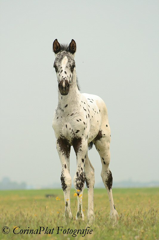 Adorable Appaloosa by MissToseland