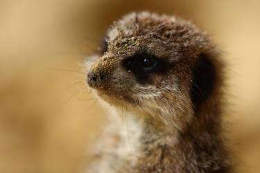 Portrait of a meerkat by MissToseland