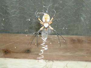 Argiope Spider Stock 3013