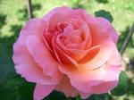 Trandafir - 51