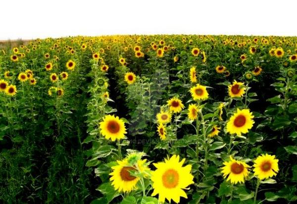 Sunflowers by AMONIQ