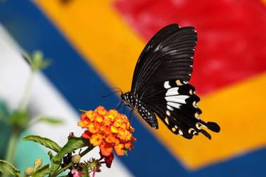 Papilio nephelus chaonulus by fire