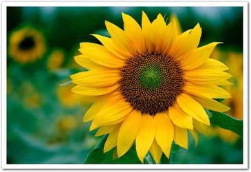 Sun Flower by fire