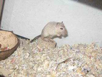 Raichu, the Kangaroo Rat
