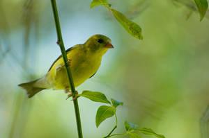 Goldfinch by BlueFlamedPhoenix