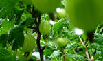 gooseberries by graphic-rusty