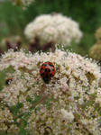 ladybird by graphic-rusty