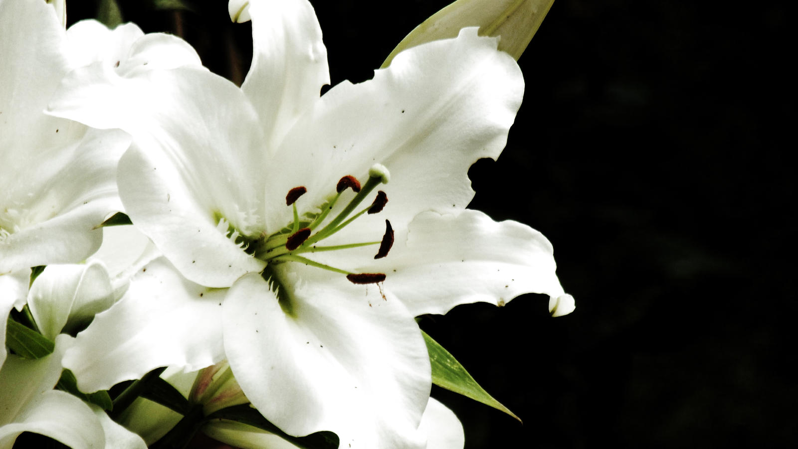 white lily on black by graphic rusty on DeviantArt